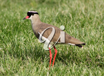 Royalty Free Photo of a Crowned Lapwing Bird in Grass
