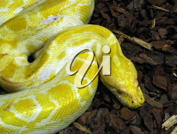 Royalty Free Photo of a Burmese Python