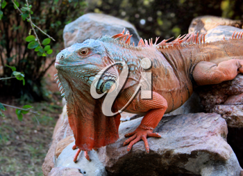 Royalty Free Photo of an Iguana