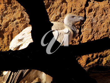 Royalty Free Photo of an African White Backed Vulture