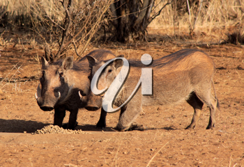 Royalty Free Photo of Two Warthogs Eating