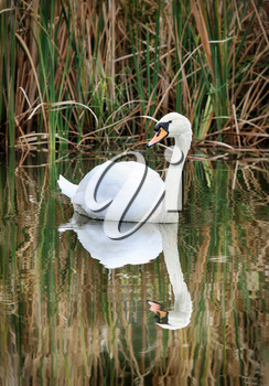 Serene Swan on Rippling Pond with Reflection Picture