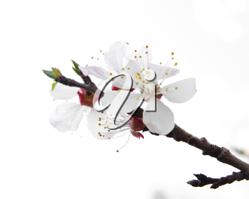 Blossoming tree on a white background