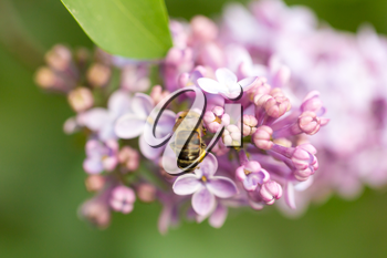 bee collects nectar on lilac