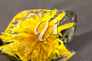 yellow dandelion in the ice