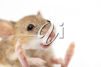 mouse on a white background. macro