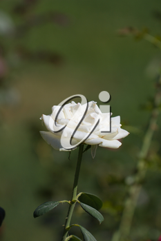 white rose in nature