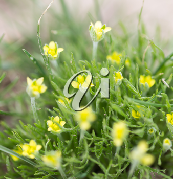 Small yellow flowers grass