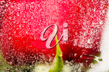 water drops on a package of red roses. macro