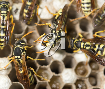 Wasp Nest with Pupae