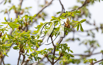 young leaves on the branch of a chestnut in nature
