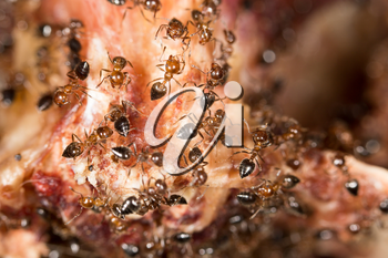 ants on the meat. close-up