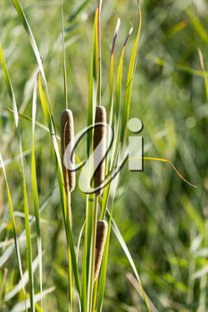 bulrush in nature as a background