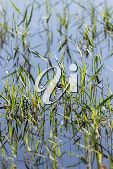reeds on the water in the lake in nature