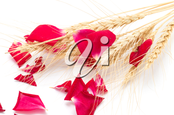 red rose petals and stalks of wheat on a white background