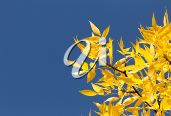 Yellow leaves on autumn trees against the blue sky