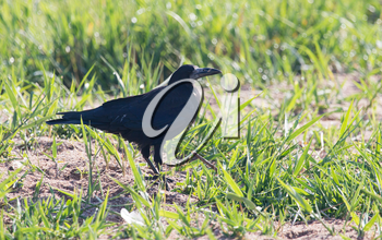 black crow in the grass on the nature