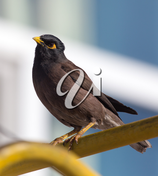 Indian starling in the city