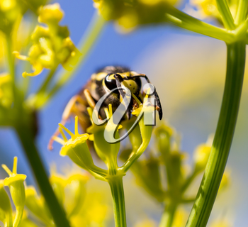 Wasp on yellow flower in nature. macro