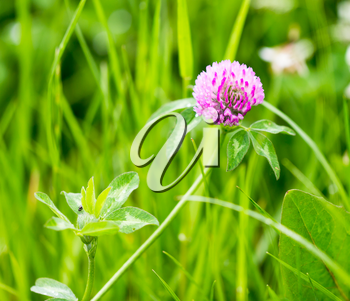 Beautiful flower on clover in a park in nature