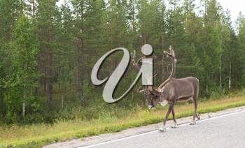 Adult deer with horns on the side of the road in Finland on the background of green forest.