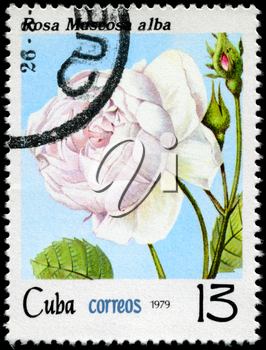 CUBA - CIRCA 1979: A Stamp shows image of a white Rose with the inscription rosa muscosa alba, series, circa 1979
