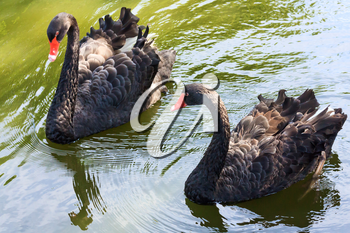 Two black swans on the water surface