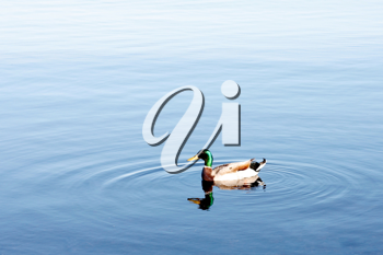 Royalty Free Photo of a Duck Swimming in Water