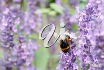 Royalty Free Photo of a Bumblebee on Lavender