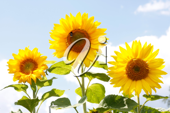 Royalty Free Photo of Sunflowers