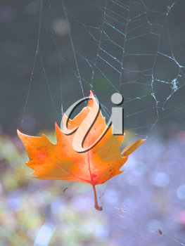 Royalty Free Photo of an Autumn Leaf in a Cobweb