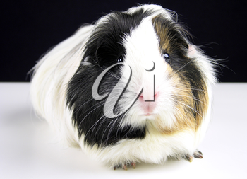 Royalty Free Photo of a Guinea Pig