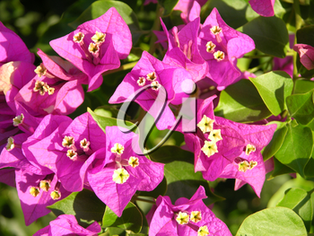 Royalty Free Photo of Bougainvillea Flowers