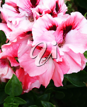 Royalty Free Photo of Pink Geranium Flowers