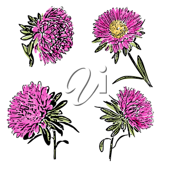 Watercolor aster flower isolated on white background, vector format