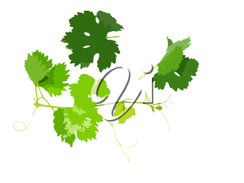 Grapes green leaf with vine tendril. Vector