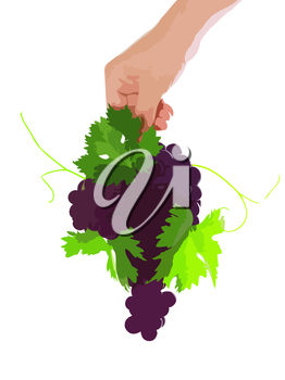 Branch of black grapes hold in hand with green leaf.. Vector