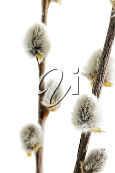 Branches of the pussy willow with flowering bud.Isolated