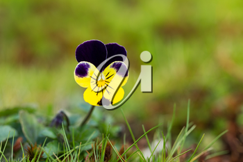 Closeup horizontal photo of single wild flower during spring time growing out of yard of grass