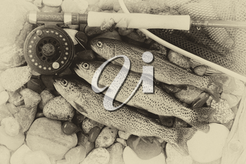 Three wild trout with fishing fly reel, landing net and assorted flies on wet river bed stones with vintage concept.