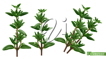 Thymus vulgaris, thyme aromatic herbs. 3d realistic food illustration. Vector object