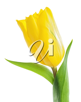 Single yellow tulip isolated on white background. Closeup.