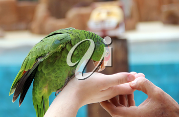 Large parrot eat food with hands image to the green parrot
