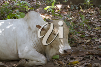 Brown cow lies on the ground. India Goa.