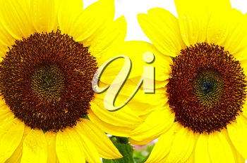 Two beautiful sunflowers with rain drops in a garden