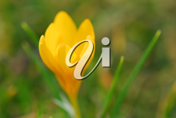 Macro image of a yellow crocus flower blooming in early spring