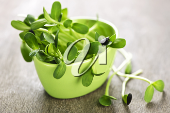 Organic green young sunflower sprouts in a cup