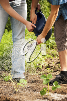 Two gardeners - obviously a couple - watering the plants in a vegetable garden after having planted the new seedlings