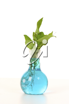 A plant species growing in a solution in a laboratory round flat bottom flask.
