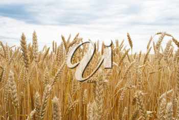 Royalty Free Photo of a Wheat Field